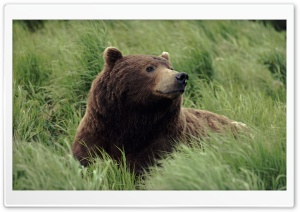 Grizzly Bear Near Mcneil River Alaska HD Wide Wallpaper for Widescreen