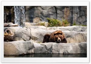Grizzly Bear, Zoo HD Wide Wallpaper for 4K UHD Widescreen desktop & smartphone