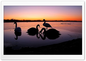 Group Of Swans HD Wide Wallpaper for Widescreen