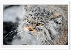 Grumpy Manul HD Wide Wallpaper for Widescreen