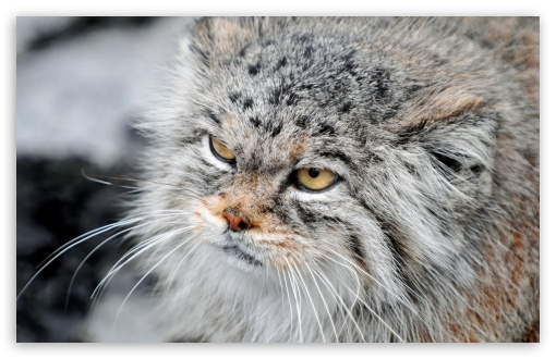 Grumpy Manul HD wallpaper for Wide 16:10 5:3 Widescreen WHXGA WQXGA WUXGA WXGA WGA ; HD 16:9 High Definition WQHD QWXGA 1080p 900p 720p QHD nHD ; UHD 16:9 WQHD QWXGA 1080p 900p 720p QHD nHD ; Standard 4:3 5:4 3:2 Fullscreen UXGA XGA SVGA QSXGA SXGA DVGA HVGA HQVGA devices ( Apple PowerBook G4 iPhone 4 3G 3GS iPod Touch ) ; Tablet 1:1 ; iPad 1/2/Mini ; Mobile 4:3 5:3 3:2 16:9 5:4 - UXGA XGA SVGA WGA DVGA HVGA HQVGA devices ( Apple PowerBook G4 iPhone 4 3G 3GS iPod Touch ) WQHD QWXGA 1080p 900p 720p QHD nHD QSXGA SXGA ;