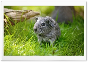 Guinea Pig Baby Outdoor HD Wide Wallpaper for Widescreen