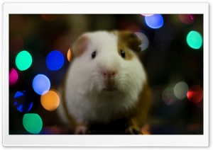 Guinea Pig Christmas HD Wide Wallpaper for Widescreen