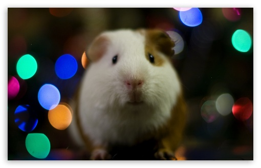 Guinea Pig Christmas ❤ 4K UHD Wallpaper for Wide 16:10 5:3 Widescreen WHXGA WQXGA WUXGA WXGA WGA ; 4K UHD 16:9 Ultra High Definition 2160p 1440p 1080p 900p 720p ; UHD 16:9 2160p 1440p 1080p 900p 720p ; Standard 4:3 5:4 3:2 Fullscreen UXGA XGA SVGA QSXGA SXGA DVGA HVGA HQVGA ( Apple PowerBook G4 iPhone 4 3G 3GS iPod Touch ) ; Tablet 1:1 ; iPad 1/2/Mini ; Mobile 4:3 5:3 3:2 16:9 5:4 - UXGA XGA SVGA WGA DVGA HVGA HQVGA ( Apple PowerBook G4 iPhone 4 3G 3GS iPod Touch ) 2160p 1440p 1080p 900p 720p QSXGA SXGA ;