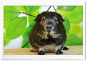 Guinea Pig, Spring HD Wide Wallpaper for Widescreen