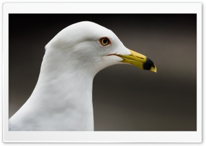 Gull HD Wide Wallpaper for Widescreen