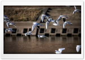 Gulls, Japan HD Wide Wallpaper for Widescreen