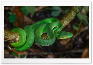 Gumprecht s Green Pit Viper Snake, Thailand Ultra HD Wallpaper for 4K UHD Widescreen desktop, tablet & smartphone