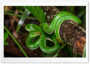 Gumprecht s Green Pit Viper Snake Wildlife Ultra HD Wallpaper for 4K UHD Widescreen desktop, tablet & smartphone