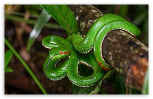 Download Gumprecht S Green Pit Viper Snake Wildlife Ultrahd
