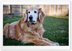 Handsome Golden Retriever HD Wide Wallpaper for Widescreen