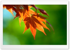 Hanging Leaves HD Wide Wallpaper for Widescreen