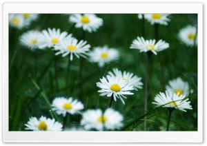 Happy Chamomile HD Wide Wallpaper for Widescreen