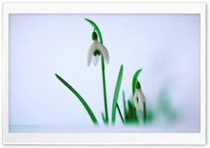 Harbingers of Spring HD Wide Wallpaper for Widescreen