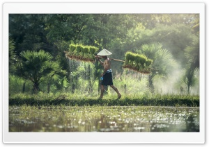 Harvesting Rice By Hand HD Wide Wallpaper for Widescreen