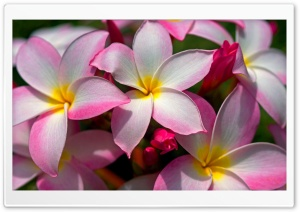 Hawaiian Plumeria HD Wide Wallpaper for Widescreen