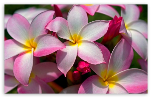 Hawaiian Plumeria HD wallpaper for Wide 16:10 5:3 Widescreen WHXGA WQXGA WUXGA WXGA WGA ; HD 16:9 High Definition WQHD QWXGA 1080p 900p 720p QHD nHD ; Standard 4:3 5:4 3:2 Fullscreen UXGA XGA SVGA QSXGA SXGA DVGA HVGA HQVGA devices ( Apple PowerBook G4 iPhone 4 3G 3GS iPod Touch ) ; Tablet 1:1 ; iPad 1/2/Mini ; Mobile 4:3 5:3 3:2 16:9 5:4 - UXGA XGA SVGA WGA DVGA HVGA HQVGA devices ( Apple PowerBook G4 iPhone 4 3G 3GS iPod Touch ) WQHD QWXGA 1080p 900p 720p QHD nHD QSXGA SXGA ;