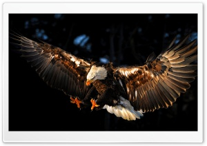 Hawk HD Wide Wallpaper for Widescreen