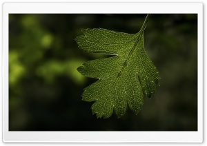 Hawthorns Leaf HD Wide Wallpaper for Widescreen