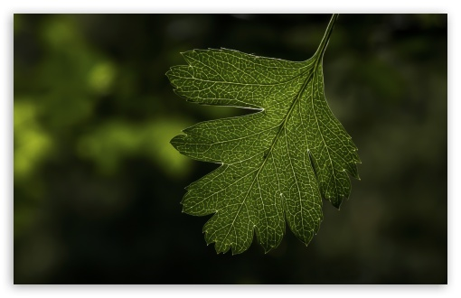 Hawthorns Leaf ❤ 4K UHD Wallpaper for Wide 16:10 5:3 Widescreen WHXGA WQXGA WUXGA WXGA WGA ; 4K UHD 16:9 Ultra High Definition 2160p 1440p 1080p 900p 720p ; Standard 4:3 5:4 3:2 Fullscreen UXGA XGA SVGA QSXGA SXGA DVGA HVGA HQVGA ( Apple PowerBook G4 iPhone 4 3G 3GS iPod Touch ) ; Smartphone 5:3 WGA ; Tablet 1:1 ; iPad 1/2/Mini ; Mobile 4:3 5:3 3:2 16:9 5:4 - UXGA XGA SVGA WGA DVGA HVGA HQVGA ( Apple PowerBook G4 iPhone 4 3G 3GS iPod Touch ) 2160p 1440p 1080p 900p 720p QSXGA SXGA ; Dual 16:10 5:3 4:3 5:4 WHXGA WQXGA WUXGA WXGA WGA UXGA XGA SVGA QSXGA SXGA ;