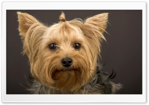 Head Shot Of Yorkshire Terrier HD Wide Wallpaper for Widescreen