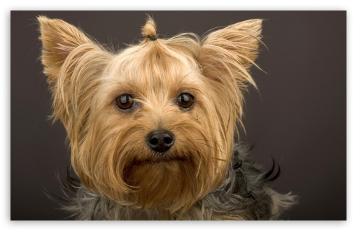 Head Shot Of Yorkshire Terrier HD wallpaper for Wide 16:10 5:3 Widescreen WHXGA WQXGA WUXGA WXGA WGA ; Standard 4:3 5:4 3:2 Fullscreen UXGA XGA SVGA QSXGA SXGA DVGA HVGA HQVGA devices ( Apple PowerBook G4 iPhone 4 3G 3GS iPod Touch ) ; iPad 1/2/Mini ; Mobile 4:3 5:3 3:2 5:4 - UXGA XGA SVGA WGA DVGA HVGA HQVGA devices ( Apple PowerBook G4 iPhone 4 3G 3GS iPod Touch ) QSXGA SXGA ;