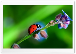 Heavy LadyBug Ultra HD Wallpaper for 4K UHD Widescreen desktop, tablet & smartphone