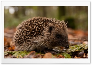 Hedgehog In The Forest HD Wide Wallpaper for Widescreen