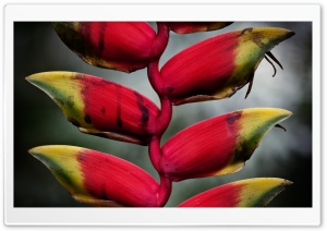 Heliconia Pendula Inflorescence HD Wide Wallpaper for 4K UHD Widescreen desktop & smartphone