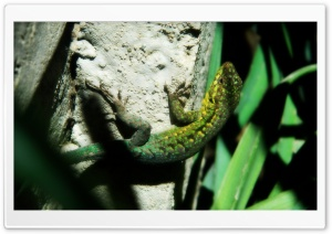 Hello Lizard HD Wide Wallpaper for Widescreen