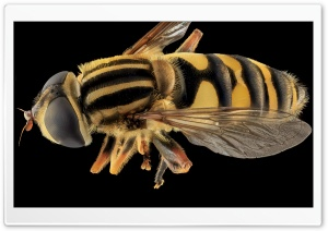 Helophilus Fasciatus, Syrphid Fly HD Wide Wallpaper for Widescreen