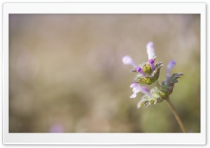 Henbit Flower HD Wide Wallpaper for Widescreen