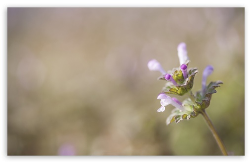 Henbit Flower ❤ 4K UHD Wallpaper for Wide 16:10 5:3 Widescreen WHXGA WQXGA WUXGA WXGA WGA ; UltraWide 21:9 ; 4K UHD 16:9 Ultra High Definition 2160p 1440p 1080p 900p 720p ; Standard 4:3 5:4 3:2 Fullscreen UXGA XGA SVGA QSXGA SXGA DVGA HVGA HQVGA ( Apple PowerBook G4 iPhone 4 3G 3GS iPod Touch ) ; Smartphone 16:9 3:2 5:3 2160p 1440p 1080p 900p 720p DVGA HVGA HQVGA ( Apple PowerBook G4 iPhone 4 3G 3GS iPod Touch ) WGA ; Tablet 1:1 ; iPad 1/2/Mini ; Mobile 4:3 5:3 3:2 16:9 5:4 - UXGA XGA SVGA WGA DVGA HVGA HQVGA ( Apple PowerBook G4 iPhone 4 3G 3GS iPod Touch ) 2160p 1440p 1080p 900p 720p QSXGA SXGA ; Dual 16:10 5:3 16:9 4:3 5:4 3:2 WHXGA WQXGA WUXGA WXGA WGA 2160p 1440p 1080p 900p 720p UXGA XGA SVGA QSXGA SXGA DVGA HVGA HQVGA ( Apple PowerBook G4 iPhone 4 3G 3GS iPod Touch ) ;
