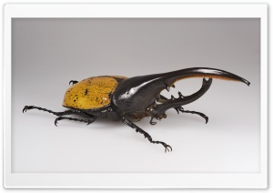 Hercules Beetle HD Wide Wallpaper for Widescreen