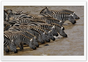 Herd Of Burchell's Zebra Drinking Mara River Masai Mara Kenya HD Wide Wallpaper for Widescreen