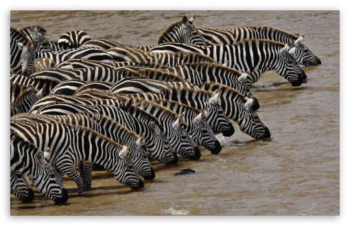 Herd Of Burchell's Zebra Drinking Mara River Masai Mara Kenya HD wallpaper for Wide 16:10 5:3 Widescreen WHXGA WQXGA WUXGA WXGA WGA ; HD 16:9 High Definition WQHD QWXGA 1080p 900p 720p QHD nHD ; Standard 4:3 5:4 3:2 Fullscreen UXGA XGA SVGA QSXGA SXGA DVGA HVGA HQVGA devices ( Apple PowerBook G4 iPhone 4 3G 3GS iPod Touch ) ; Tablet 1:1 ; iPad 1/2/Mini ; Mobile 4:3 5:3 3:2 16:9 5:4 - UXGA XGA SVGA WGA DVGA HVGA HQVGA devices ( Apple PowerBook G4 iPhone 4 3G 3GS iPod Touch ) WQHD QWXGA 1080p 900p 720p QHD nHD QSXGA SXGA ;