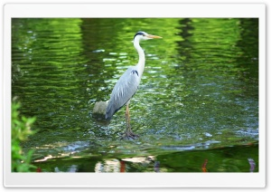 Heron HD Wide Wallpaper for 4K UHD Widescreen desktop & smartphone