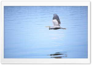Heron Flying Ultra HD Wallpaper for 4K UHD Widescreen desktop, tablet & smartphone