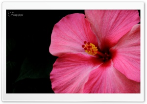 Hibiscus HD Wide Wallpaper for 4K UHD Widescreen desktop & smartphone