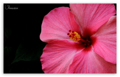 Hibiscus ❤ 4K UHD Wallpaper for Wide 16:10 5:3 Widescreen WHXGA WQXGA WUXGA WXGA WGA ; 4K UHD 16:9 Ultra High Definition 2160p 1440p 1080p 900p 720p ; Standard 4:3 3:2 Fullscreen UXGA XGA SVGA DVGA HVGA HQVGA ( Apple PowerBook G4 iPhone 4 3G 3GS iPod Touch ) ; iPad 1/2/Mini ; Mobile 4:3 5:3 3:2 16:9 - UXGA XGA SVGA WGA DVGA HVGA HQVGA ( Apple PowerBook G4 iPhone 4 3G 3GS iPod Touch ) 2160p 1440p 1080p 900p 720p ;