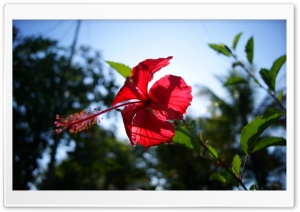 Hibiscus Ultra HD Wallpaper for 4K UHD Widescreen desktop, tablet & smartphone