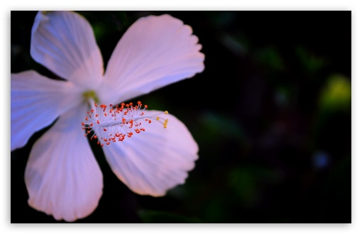 Hibiscus HD wallpaper for Wide 16:10 5:3 Widescreen WHXGA WQXGA WUXGA WXGA WGA ; HD 16:9 High Definition WQHD QWXGA 1080p 900p 720p QHD nHD ; UHD 16:9 WQHD QWXGA 1080p 900p 720p QHD nHD ; Standard 4:3 5:4 3:2 Fullscreen UXGA XGA SVGA QSXGA SXGA DVGA HVGA HQVGA devices ( Apple PowerBook G4 iPhone 4 3G 3GS iPod Touch ) ; Tablet 1:1 ; iPad 1/2/Mini ; Mobile 4:3 5:3 3:2 16:9 5:4 - UXGA XGA SVGA WGA DVGA HVGA HQVGA devices ( Apple PowerBook G4 iPhone 4 3G 3GS iPod Touch ) WQHD QWXGA 1080p 900p 720p QHD nHD QSXGA SXGA ;