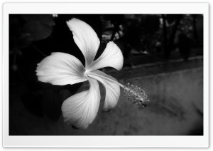 Hibiscus Black And White HD Wide Wallpaper for Widescreen
