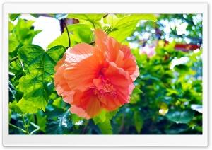 Hibiscus Flowers. HD Wide Wallpaper for 4K UHD Widescreen desktop & smartphone