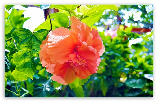 Hibiscus Flowers. HD wallpaper for Wide 16:10 5:3 Widescreen WHXGA WQXGA WUXGA WXGA WGA ; HD 16:9 High Definition WQHD QWXGA 1080p 900p 720p QHD nHD ; UHD 16:9 WQHD QWXGA 1080p 900p 720p QHD nHD ; Standard 4:3 5:4 3:2 Fullscreen UXGA XGA SVGA QSXGA SXGA DVGA HVGA HQVGA devices ( Apple PowerBook G4 iPhone 4 3G 3GS iPod Touch ) ; Tablet 1:1 ; iPad 1/2/Mini ; Mobile 4:3 5:3 3:2 16:9 5:4 - UXGA XGA SVGA WGA DVGA HVGA HQVGA devices ( Apple PowerBook G4 iPhone 4 3G 3GS iPod Touch ) WQHD QWXGA 1080p 900p 720p QHD nHD QSXGA SXGA ; Dual 5:4 QSXGA SXGA ;