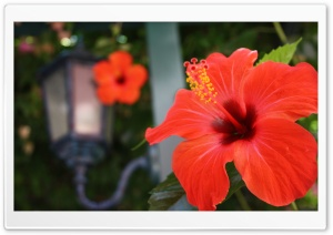 Hibiscus Flowers HD Wide Wallpaper for Widescreen