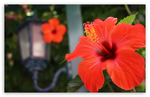 Hibiscus Flowers HD wallpaper for Wide 16:10 5:3 Widescreen WHXGA WQXGA WUXGA WXGA WGA ; HD 16:9 High Definition WQHD QWXGA 1080p 900p 720p QHD nHD ; UHD 16:9 WQHD QWXGA 1080p 900p 720p QHD nHD ; Standard 4:3 5:4 3:2 Fullscreen UXGA XGA SVGA QSXGA SXGA DVGA HVGA HQVGA devices ( Apple PowerBook G4 iPhone 4 3G 3GS iPod Touch ) ; Tablet 1:1 ; iPad 1/2/Mini ; Mobile 4:3 5:3 3:2 16:9 5:4 - UXGA XGA SVGA WGA DVGA HVGA HQVGA devices ( Apple PowerBook G4 iPhone 4 3G 3GS iPod Touch ) WQHD QWXGA 1080p 900p 720p QHD nHD QSXGA SXGA ;