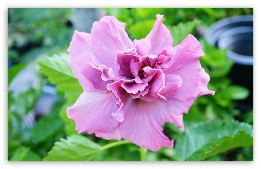 Hibiscus Flowers. HD wallpaper for Wide 16:10 5:3 Widescreen WHXGA WQXGA WUXGA WXGA WGA ; HD 16:9 High Definition WQHD QWXGA 1080p 900p 720p QHD nHD ; UHD 16:9 WQHD QWXGA 1080p 900p 720p QHD nHD ; Standard 4:3 5:4 3:2 Fullscreen UXGA XGA SVGA QSXGA SXGA DVGA HVGA HQVGA devices ( Apple PowerBook G4 iPhone 4 3G 3GS iPod Touch ) ; Tablet 1:1 ; iPad 1/2/Mini ; Mobile 4:3 5:3 3:2 16:9 5:4 - UXGA XGA SVGA WGA DVGA HVGA HQVGA devices ( Apple PowerBook G4 iPhone 4 3G 3GS iPod Touch ) WQHD QWXGA 1080p 900p 720p QHD nHD QSXGA SXGA ;