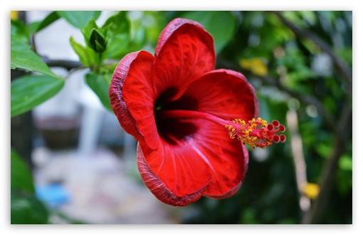 Hibiscus rosa-sinensis ❤ 4K UHD Wallpaper for Wide 16:10 5:3 Widescreen WHXGA WQXGA WUXGA WXGA WGA ; 4K UHD 16:9 Ultra High Definition 2160p 1440p 1080p 900p 720p ; UHD 16:9 2160p 1440p 1080p 900p 720p ; Standard 4:3 5:4 3:2 Fullscreen UXGA XGA SVGA QSXGA SXGA DVGA HVGA HQVGA ( Apple PowerBook G4 iPhone 4 3G 3GS iPod Touch ) ; Smartphone 5:3 WGA ; Tablet 1:1 ; iPad 1/2/Mini ; Mobile 4:3 5:3 3:2 16:9 5:4 - UXGA XGA SVGA WGA DVGA HVGA HQVGA ( Apple PowerBook G4 iPhone 4 3G 3GS iPod Touch ) 2160p 1440p 1080p 900p 720p QSXGA SXGA ;