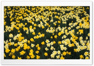 Hillside Of Daffodils Louisville Kentucky HD Wide Wallpaper for Widescreen